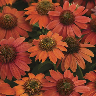 Echinacea Artisan 'Red Ombre' #1