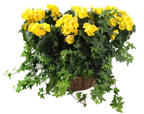 Rieger Begonia Garden w/Ivy