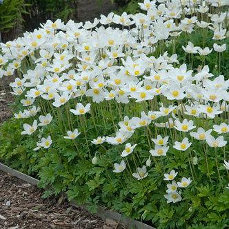 Anemone sylvestris #1