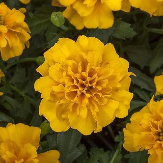 Marigold Happy Gold  Market Pack