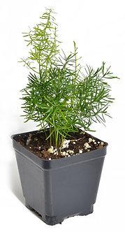 "Asparagus Fern 4"" Pot"