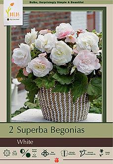 BEGONIA SUPERBA WHITE