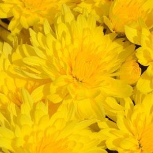 Mum chrysanthemum x morifolium 'Honeyblush Yellow' - Large