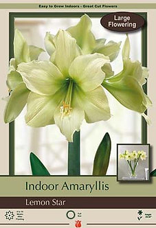 Amaryllis Lemon Star