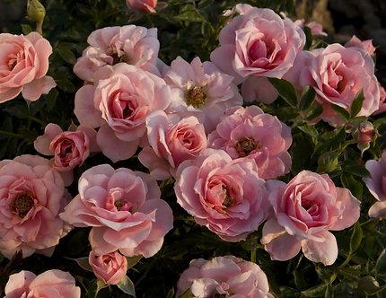 Rose Mini 'Sweet Sunblaze' #3
