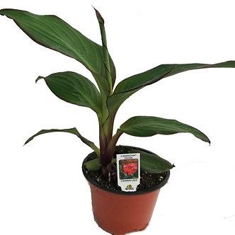 "Canna Lily 4.5"" Pot"