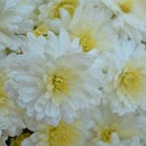 Mum chrysanthemum x morifolium 'Shannon White' - Large
