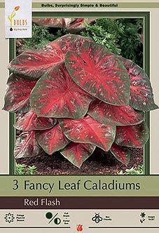 CALADIUM FANCY LEAF RED FLASH (BULBS)