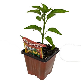 "Pepper 'Mucho Nacho' 3.5"" Pot"