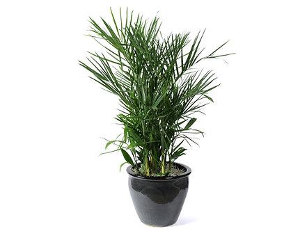 Chamaedorea Bamboo Palm  in Pot
