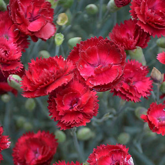Dianthus 'Electric Red'
