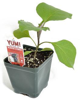 "Eggplant 'Burpee Hybrid' 3.5"" Pot"