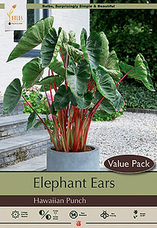 COLOCASIA HAWAIIAN PUNCH PP24596