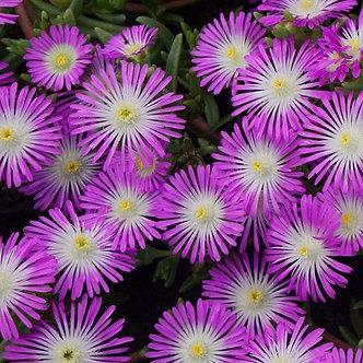 Delosperma Wheels of Wonder Violet #1