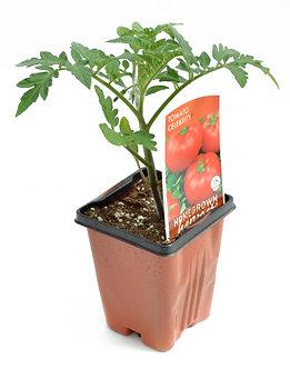 "Tomato 'Celebrity' 3.5"" Pot"