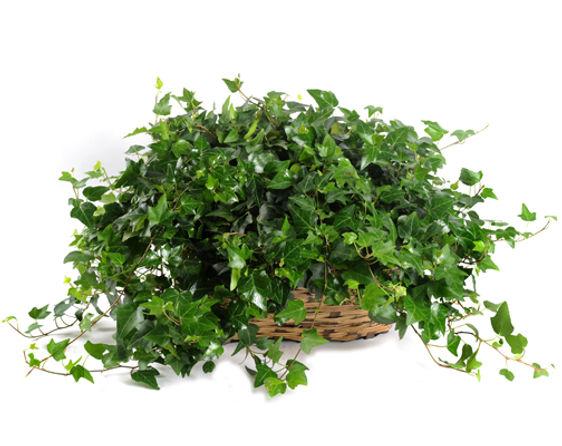 Ivy Garden in a Basket