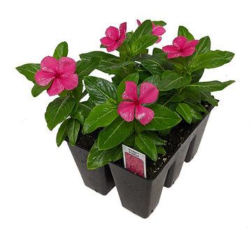 Vinca Flowering Annual Market Pack