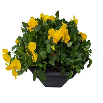 "Pansy Container Short 12"" Hex Bowl"