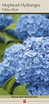 HYDRANGEA NIKKO BLUE SEEDLING