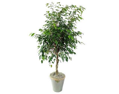 Braided Ficus Benjamin  in Pot