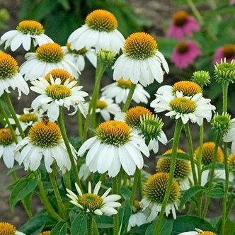Echinacea pur. 'PowWow White' #1