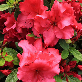 AZALEA BLOOM A THON RED 3GA