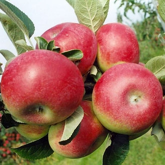 Apple Semi-Dwarf 'McIntosh'
