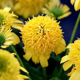 Echinacea Sunny Days Lemon 3QT
