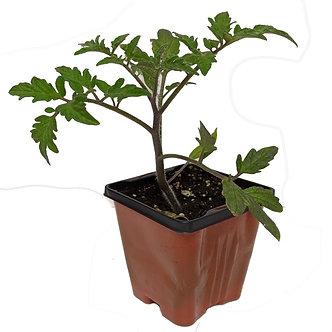 """Tomato 'Rutgers' 3.5"""" Pot"""