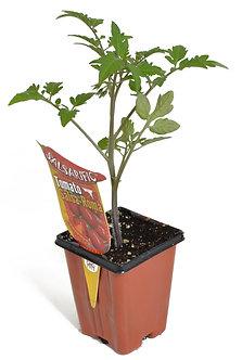 "Tomato 'La Roma' 3.5"" Pot"