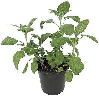 "Sage 6"" Pot"