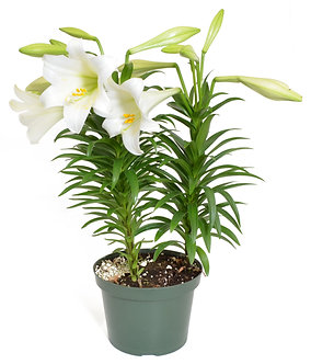 "Easter Lily 3 Stem 7"" Pot"