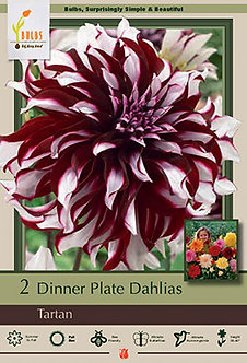 DAHLIA DINNER PLATE TARTAN