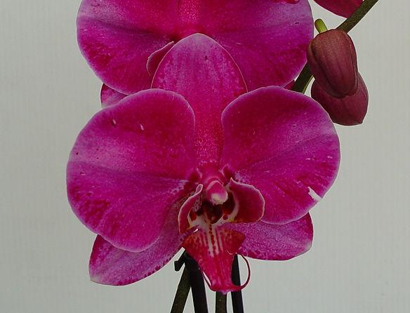Orchid - Purple