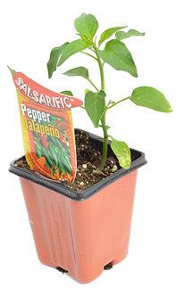 "Pepper 'Jalapeno' 3.5"" Pot"