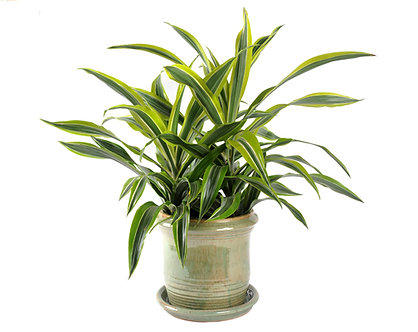 Dracaena Goldstar  in Pot
