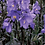 Thumbnail: Polemonium Bressingham Purple 3QT