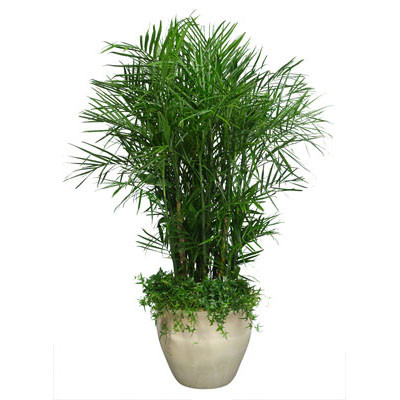 Palm In Pot.Bamboo Palm In Pot