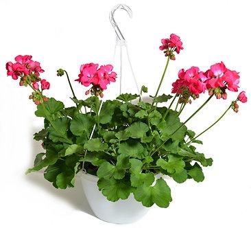 """Geranium 10"""" Hanging Basket"""