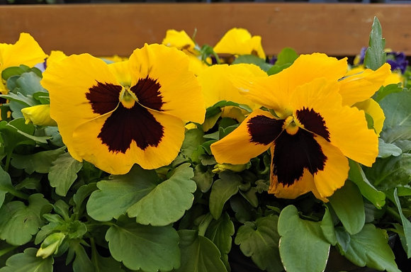 Yellow & Brown Pansy