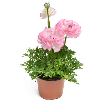 "Ranunculus Assorted 4.5"" Pot"