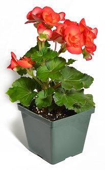 """Hiemalis Begonia 4.5"""" Pot Assorted Colors"""
