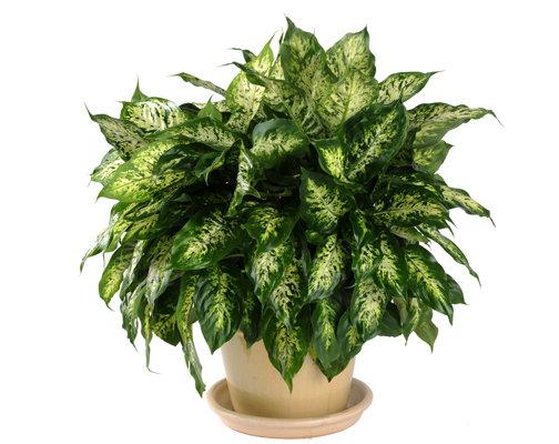 Dieffenbachia in Pot