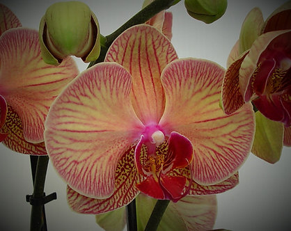 Orchid - Pinkish & touch of Green with Red Veins