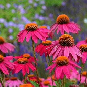 Echinacea pur. 'PowWow Wild Berry' #1