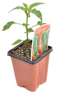 """Pepper 'Garden Salsa' 3.5"""" Pot"""