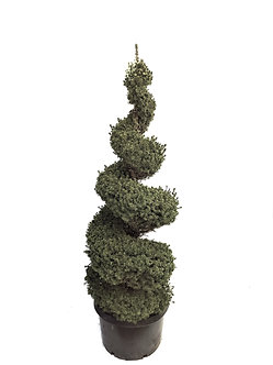 Dwarf Alberta Spruce Spiral #10