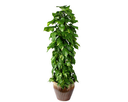 Totem Pothos Golden  in Pot