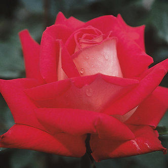 #3 Rose Grnd. 'Love' #1 Grade
