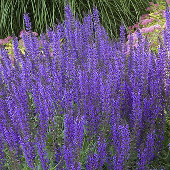 Salvia Blue Hill #3
